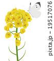 菜の花 19517076