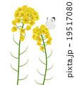 菜の花 19517080