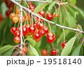 さくらんぼ(果樹園) 19518140