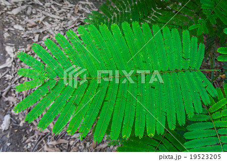Climbing Wattle, Acacia pennata, Cha-om leaves 19523205