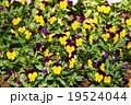 花 お花 フラワーの写真 19524044