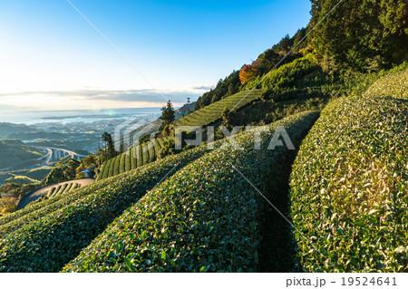 【静岡県】天空の茶畑 19524641