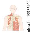 呼吸筋(前面) 19527104