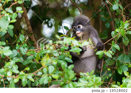 Dusky leaf monkey Spectacled langur in thailand 19528002