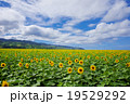 ひまわり畑 19529292