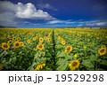 ひまわり畑 19529298