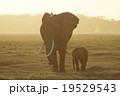 アフリカゾウ 19529543