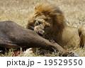ライオン 19529550