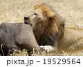 ライオン 19529564