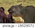 ライオン 19529571