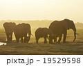 アフリカゾウ 19529598