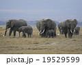 アフリカゾウ 19529599
