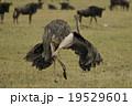 ダチョウ 鳥類 鳥の写真 19529601