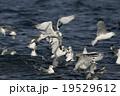 ミツユビカモメ 19529612