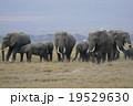 アフリカゾウ 19529630