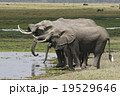 アフリカゾウ 19529646