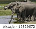 アフリカゾウ 19529672