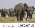 アフリカゾウ 19529715