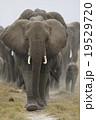 アフリカゾウ 19529720
