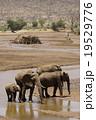アフリカゾウ 19529776