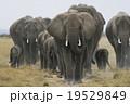 アフリカゾウ 19529849