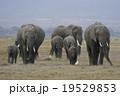 アフリカゾウ 19529853