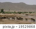 アフリカゾウ 19529868