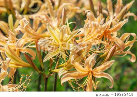 オレンジ色の彼岸花 19535419