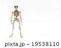 直立ガイコツ: Skeleton standing upright 19538110