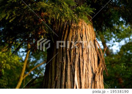 樹木の蜜 19538190