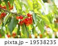 さくらんぼ(果樹園) 19538235