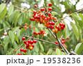 さくらんぼ(果樹園) 19538236