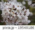 桜 19540186