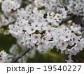 桜 19540227