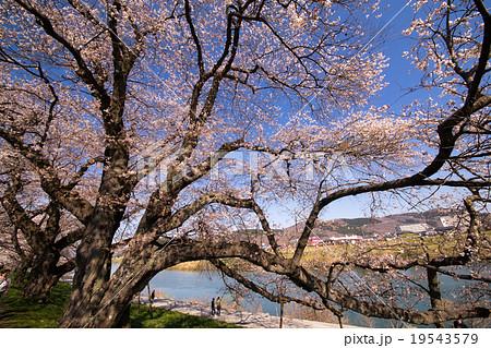 船岡城址公園一目千本桜白石川堤の春,満開の桜,日本さくら名所100選スポット日本一の巨木19543579