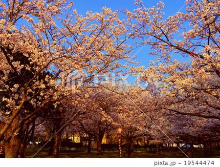 湊山公園の桜 19544474
