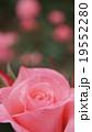 ピンクのバラたち 19552280