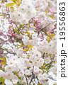 彼岸桜(八重咲き) 19556863