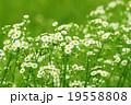 ヒメジョオン 19558808