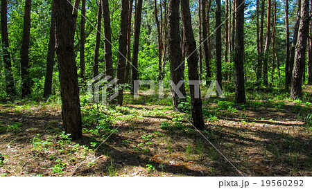 Trees in the coniferous forest, the shadow of pine 19560292