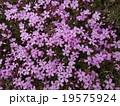 芝桜 19575924