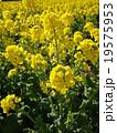 菜の花-2 19575953