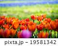 チューリップ 花 昭和記念公園の写真 19581342