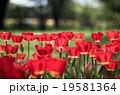 チューリップ 花 昭和記念公園の写真 19581364