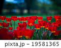 チューリップ 花 昭和記念公園の写真 19581365