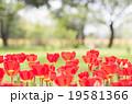 チューリップ 花 昭和記念公園の写真 19581366