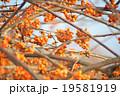 ツルウメモドキ 落葉樹 ウメモドキの写真 19581919