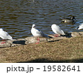 稲毛海浜公園に飛来したユリカモメとオナガガモ 19582641