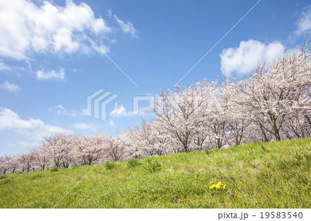 桜 19583540