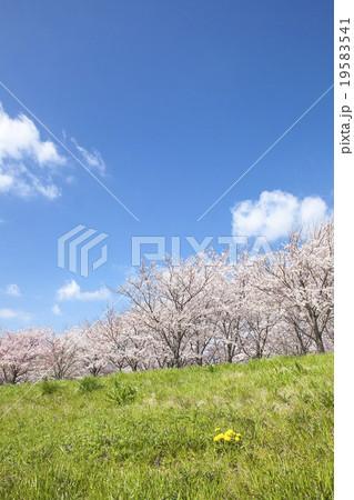 桜 19583541